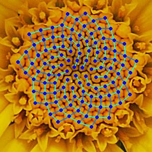 fibonaccichamomile